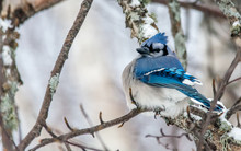 Blue Jay Perched In A Woody Ar...