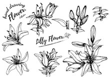 Lilly Flower Drawing Illustrat...