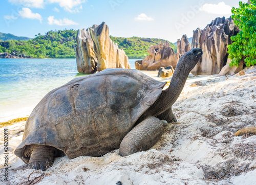 Poster Tortue Aldabra giant tortoise, Turtle in Seychelles on the beach near to Praslin