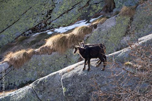 Plakat Kozica alpejska matka i szczeniak. Park Narodowy Gran Paradiso, Włochy