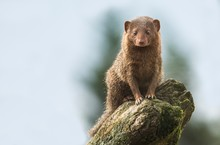 Dwarf Mongoose On A Tree Stump