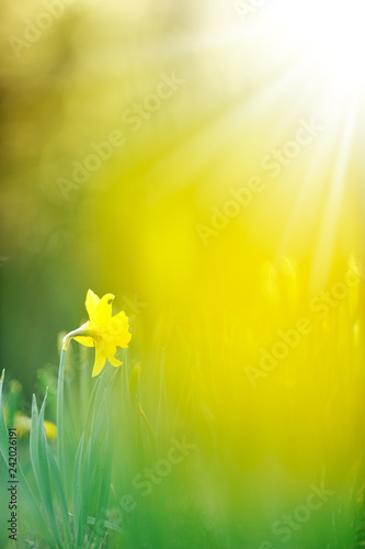 Foto op Plexiglas Narcis Yellow daffodil in the garden lit by the low angle sun.