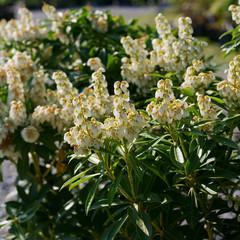 Pieris japonica Debutante