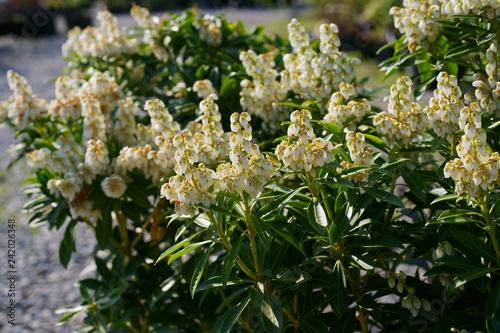 Obraz na plátně  Pieris japonica Debutante