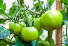 Growing Green Tomatoes, Ripening On A Branch In Garden