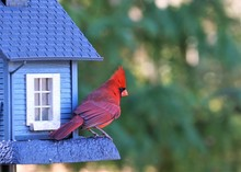 A Single Male Cardinal Bird Is...