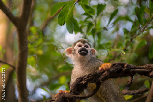 Cute squirrel monkey on a liana