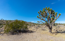 Clark County Joshua Tree And Creosote Outside Searchlight, Nevada