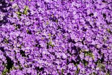 Blue Campanula Flowers On A Fl...