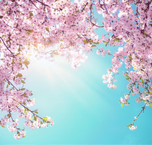 Branches Of Blossoming Pink Sakura Macro With Soft Focus On Gentle Light Blue Sky Background In Sunlight With Copy Space. Beautiful Floral Image Of Spring Nature.