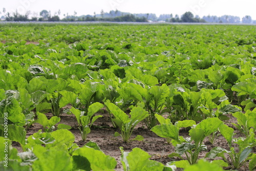 Cuadros en Lienzo field with young green sugar beet plants in the dutch countryside in spring