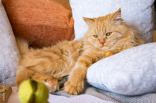 Fotografía  fluffy red cat lying on the couch among the pillows