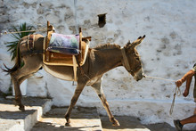 Donkey On The Streets Of The T...