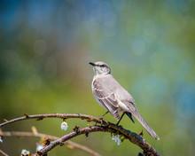 Spring Mockingbird
