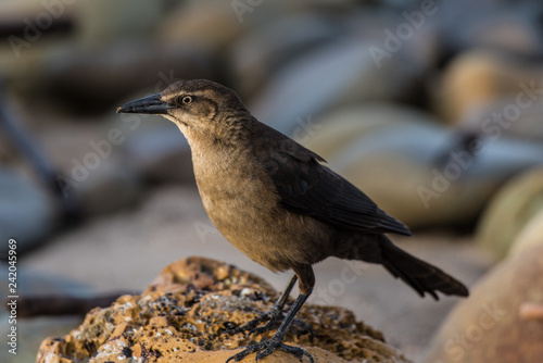 Fotografie, Obraz  Female Great Tailed Grackle bird perched on wet rock while looking in distance to left
