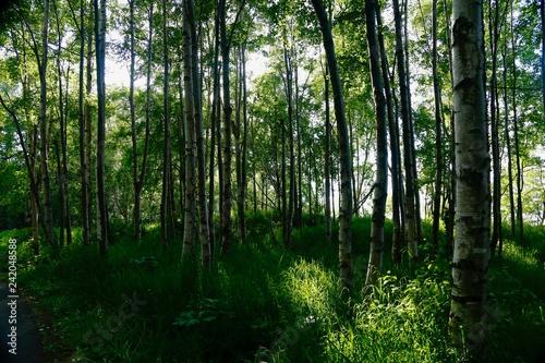 Fotobehang Bossen white birch trees