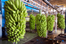 Bunches Of Banana Hanging In A Packaging Industry .
