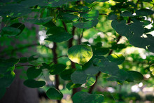 Green Leaves Of Redbud Tree In...