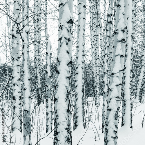 Trunks of birch trees in winter snowy forest close up