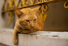 Red Outdoor Cat Basking Lying By The Iron Fence.
