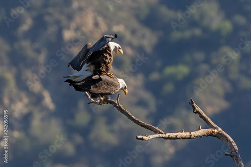 Bald eagle pair mating in the Los Angeles mountains