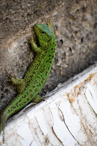 Poster Chamaleon Green Lizard. Lacerta viridis. Oestliche Smaragdeidechse. European green lizard.