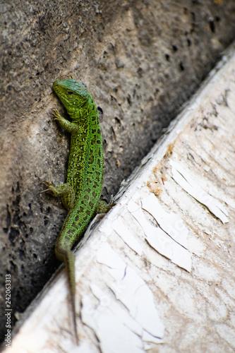 Photographie  Green Lizard