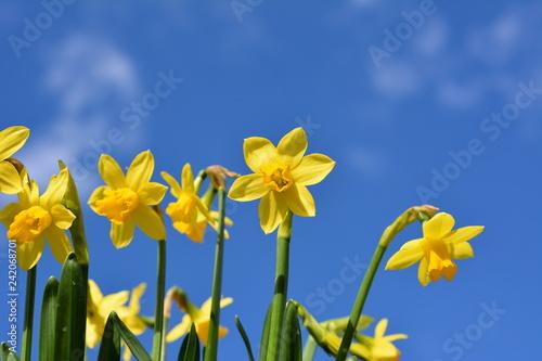 Fotografie, Obraz  青空、可愛いミニ水仙、明るい黄色い花、冬