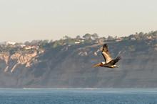 Brown Pelican Flying In La Jolla, California