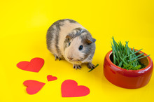 Smooth-haired Guinea Pig Beige-black Colors Next To A Bowl Of Green Grass On A Yellow Background And Red Hearts