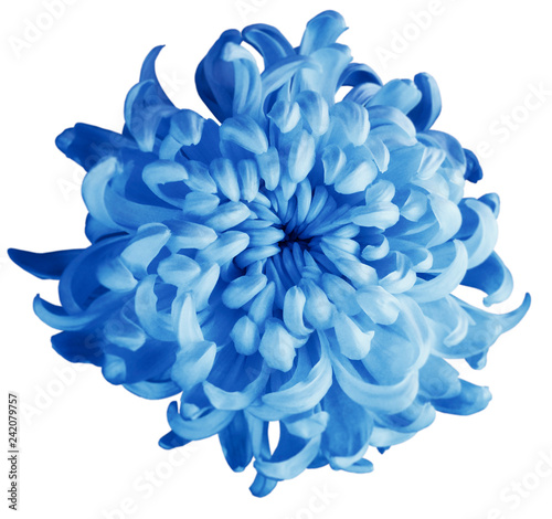 Chrysanthemum Blue Flower Isolated With Clipping Path On A White