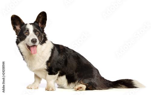 Pinturas sobre lienzo  Welsh Corgi Cardigan Dog  Isolated  on White Background in studio