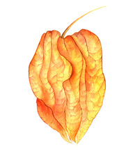 Physalis Drawing In Watercolor