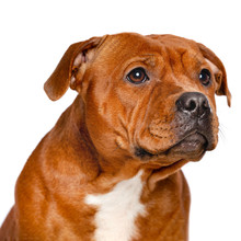 English Staffordshire Bull Terrier Dog  Isolated  On White Background In Studio