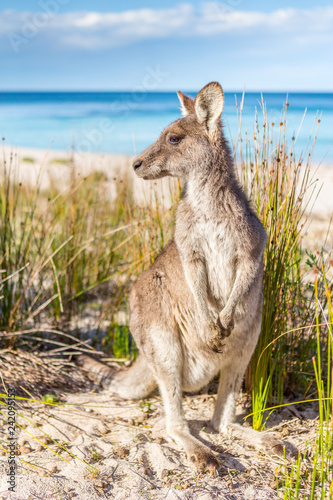 Spoed Foto op Canvas Kangoeroe Australian kangaroo on beautiful remote beach