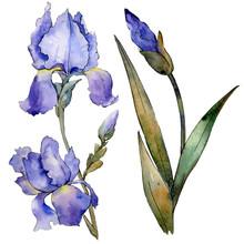 Purple Iris Floral Botanical Flower. Watercolor Background Illustration Set. Isolated Iris Illustration Element.