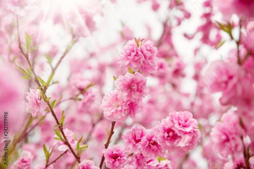 Naklejka premium niewyraźne tło drzewa sakura