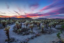 Cholla Cactus Garden In Joshua Tree National Park At Sunset