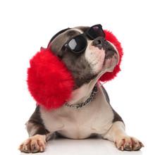 American Bully Wearing Big Red...