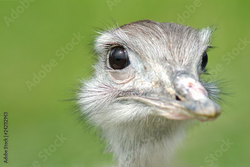 Fotobehang Struisvogel Close-up of Rhea's head against green background