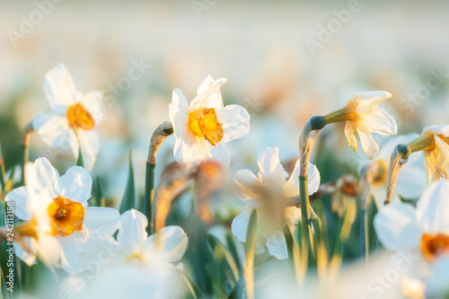 Deurstickers Narcis Colorful blooming flower field with white Narcissus or daffodil closeup during sunset.