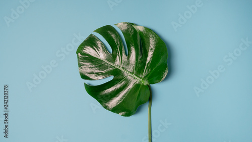 Fototapety, obrazy: monstera plant pattern isolated, texture top view