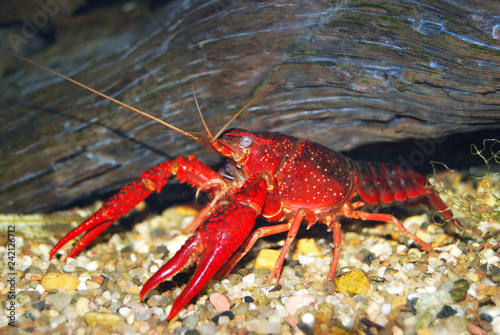 Red Louisiana swamp crayfish Procambarus clarkii. Food export