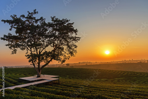 Valokuva  Alone tree on tea plantation and meadow in the morning on summer day