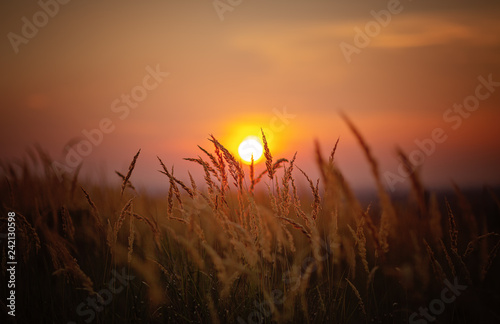 Obraz Sundown in wheat against the backdrop of faint colorful sunset - fototapety do salonu