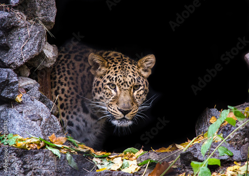 In de dag Panter Far Eastern cheetah