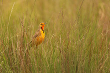 Birds Of South Africa - Cape Longclaw