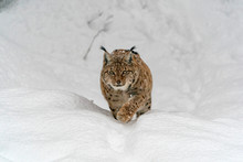 Lynx In The Snow Portrait