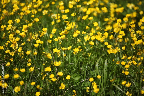Field of yellow summer flowers (ranunculus acris) Canvas Print