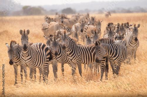 Foto op Plexiglas Afrika Zebra Migration 2